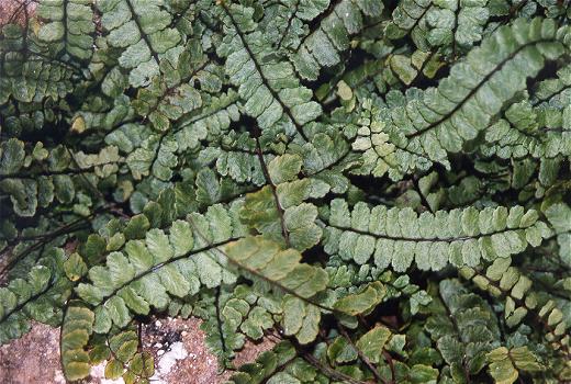 Lobed Maidenhair Spleenwort (Asplenium trichomanes subsp. pachyrhachis (H. CHRIST) LOVIS et REICHST.)