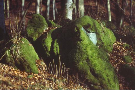 Sandstone bloc covered with mosses in a beech forest