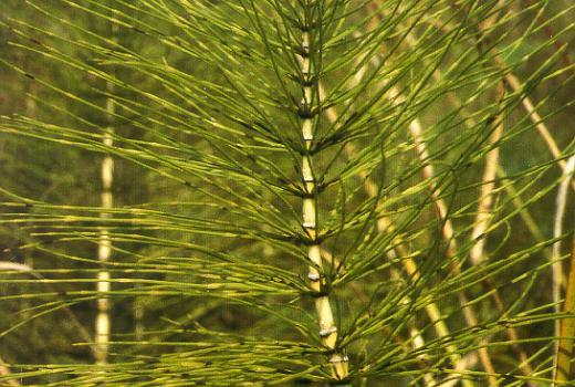 Great Horsetail (Equisetum telmateia EHRH.)