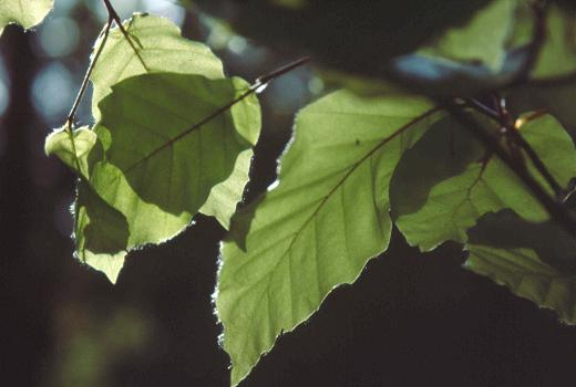 Beech (Fagus sylvatica L.) is the dominant species in the forests on sandstone in Luxembourg