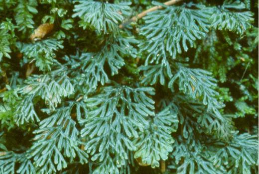 Tunbridge Filmy-Fern (Hymenophyllum tunbrigense (L.) Sm.), a highlight for the Flora of Luxembourg