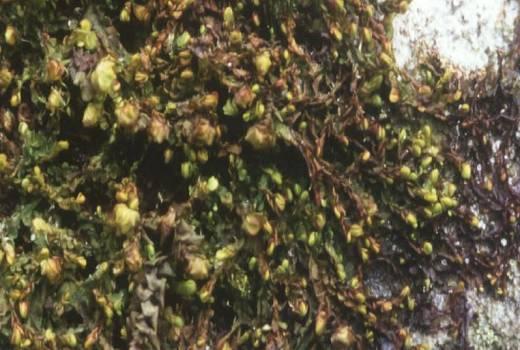 Jamesoniella autumnalis (Hepaticae). On sandstone bolder near Haller (Petite-Suisse Luxembourgeoise)