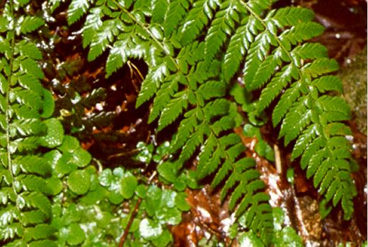 Hard Shield-fern (Polystichum aculeatum (L.) ROTH)