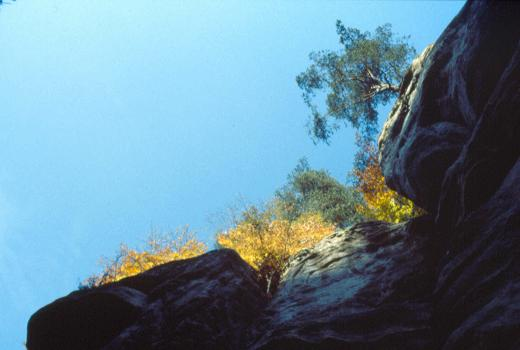 Scott's Pine (Pinus sylvestris L.) on sandstone outcrops