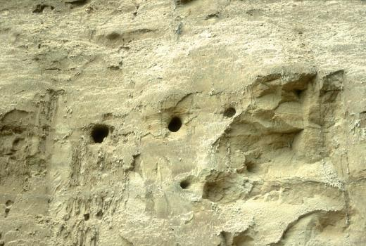 Colony of Riparia riparia (Aves, Hirudinidae). Luxembourg Sandstone. Beckerich.