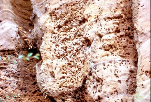 Bourgade of Colletes daviesanus (Hymenoptera, Colletidae). Buntsandstein in Western Eifel. Tawern (D).