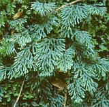 Hyménophylle de Tunbridge (Hymenophyllum tunbrigense (L.) Sm.), un des joyaux de la flore luxembourgeoise - © 2001 by Yves Krippel