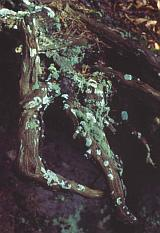 The diversity of mosses and lichens is remarkable in the sandstone area - © 1994 by Yves Krippel